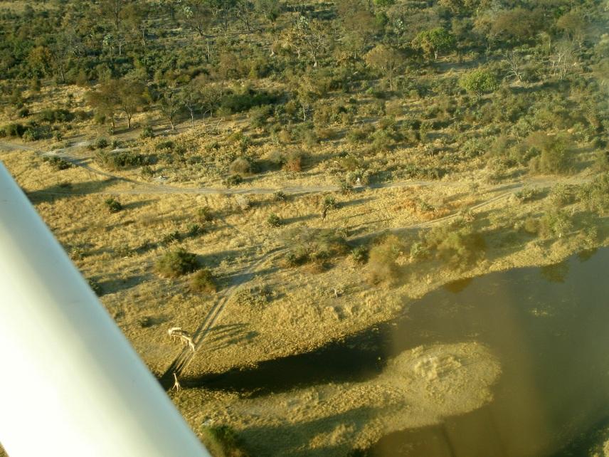 Okavango-giraffer