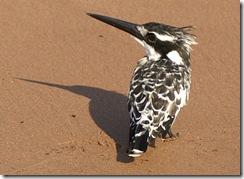 en tredje afrikansk fugl. Kingfisher eller isfugl.