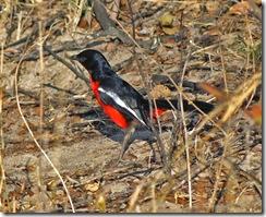 En fjerde afrikansk fugl...