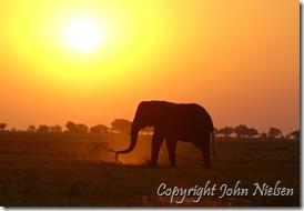 Chobefloden med solnedgangselefant