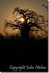 Mit yndlingstræ - baobab