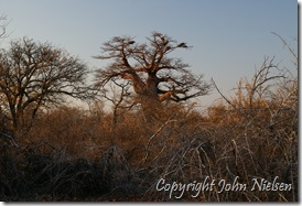Igen baobabtræer