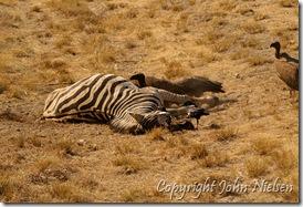 En ZZZzzzz-ende zebra? Næhhh...den er desværre død