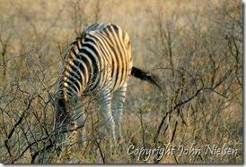 Vi så også levende zebraer...