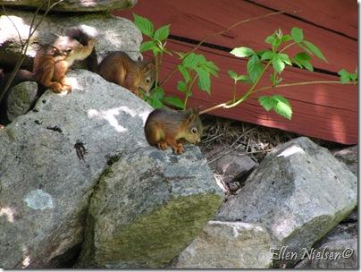 Egernunger i Sverige