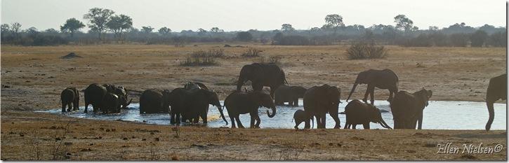Elefanterne får deres aftendrink