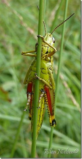 Græshoppe med røde ben