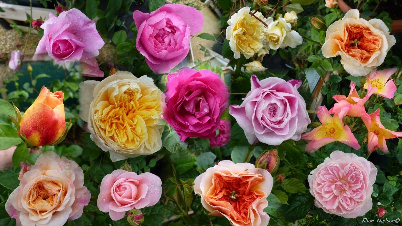 billige england dyre england og masser af roser hos mommer. Black Bedroom Furniture Sets. Home Design Ideas