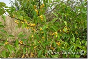 Meget gule paradisæbler