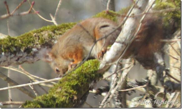 2013 marts egern i ahornen (2)