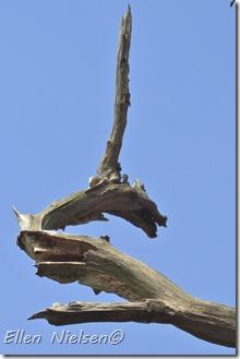 Dødt dragetræ Stevns