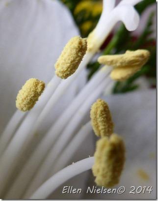Liljepollen (3)
