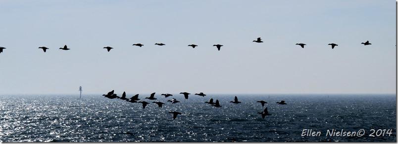 Trækkende edderfugle ved Gedser Odde