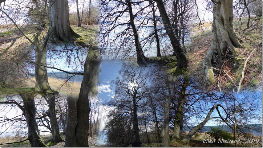 Bøgetræer ved Jungshoved