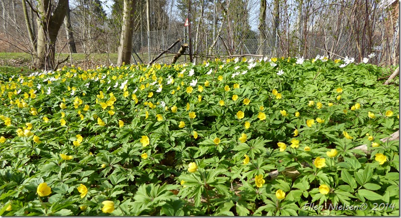 Gule anemoner ved Herlufsholm