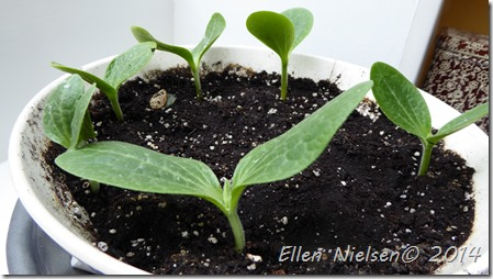 Squash - spæde planter (2)