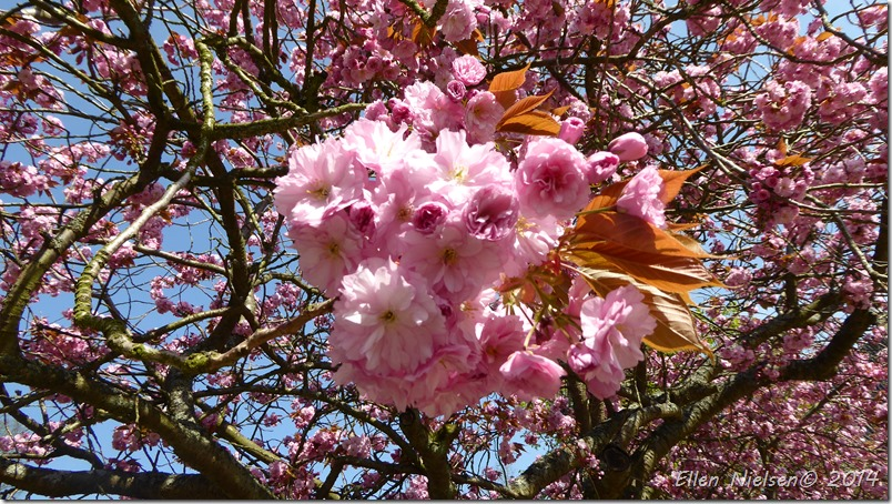 Japansk kirsebær i blomst