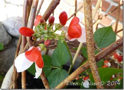 Pralbønneplanten i blomst