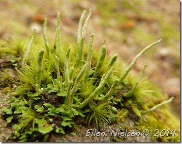 Cladonia coniocraea - tror jeg nok