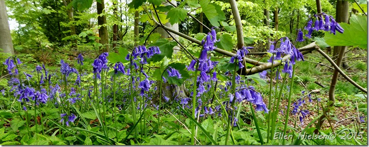 Bluebells West woods Marlborough