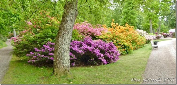 Rododendron Sofiero