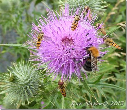 Svirrefluer og en bi