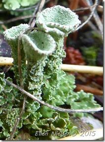 Cladonia fimbriata (2)