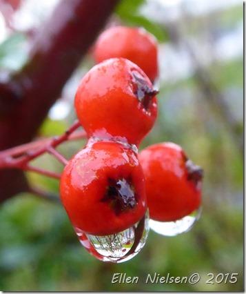 Hyben i regnvejr