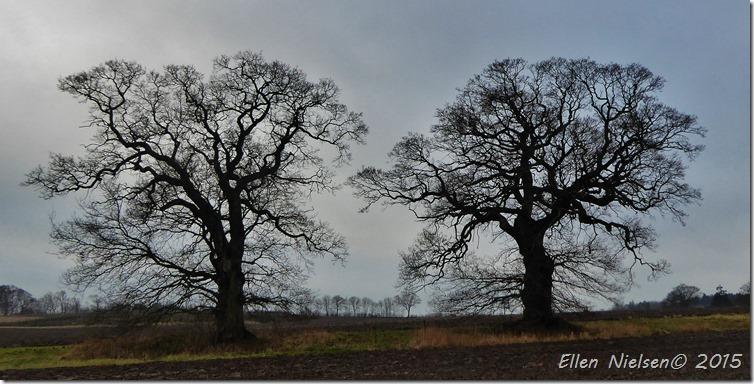 Egetræer ved Nysø