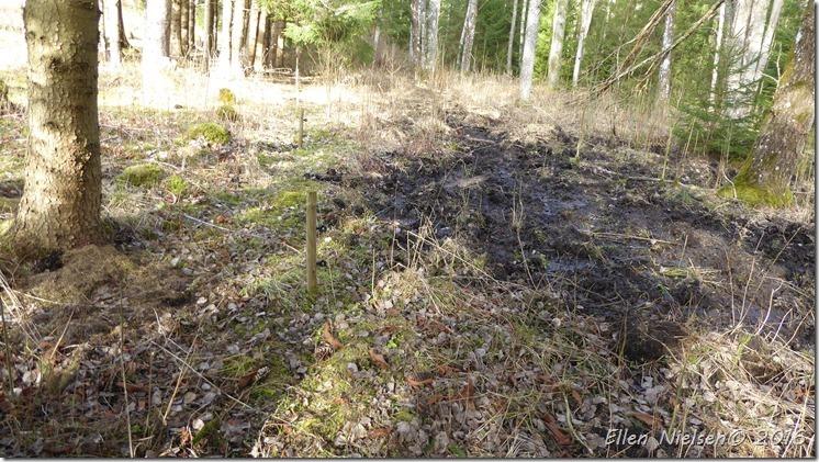 Elhegn vildsvin muldvarp (1)