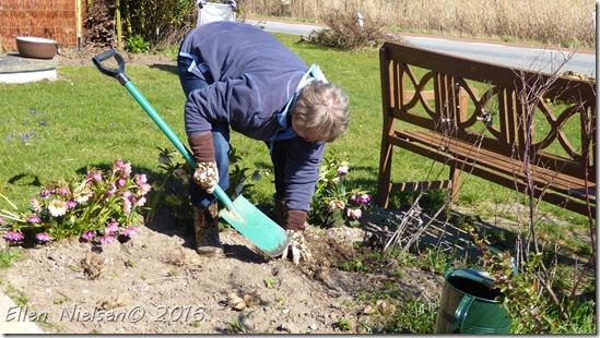 Ellen graver dahliaknolde ned