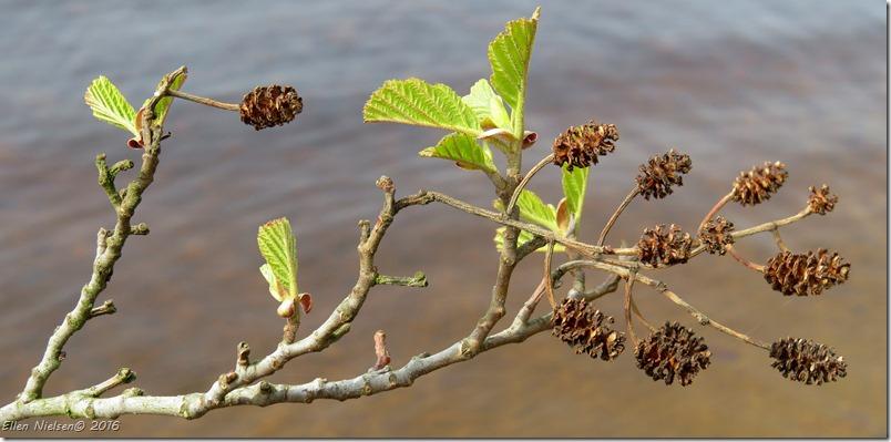 Elletræ ved Breanäs
