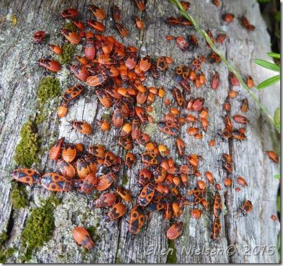 Eurydema ornata - rød kåltæge (1)