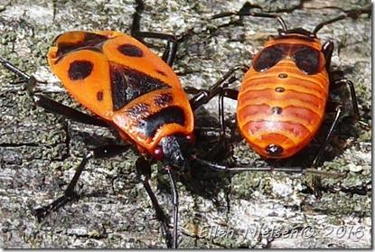 Eurydema ornata - rød kåltæge (4)