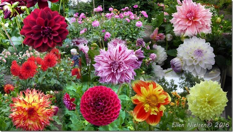 Have i Præstø med mange dahliaer