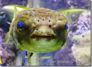 Fisk med blå øjne