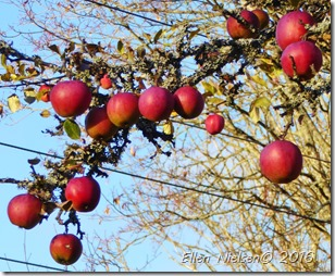 Æbler efter frost (1)