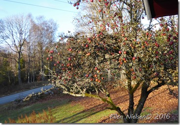 Æbler efter frost