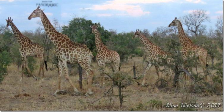 Giraffer i Manyeleti