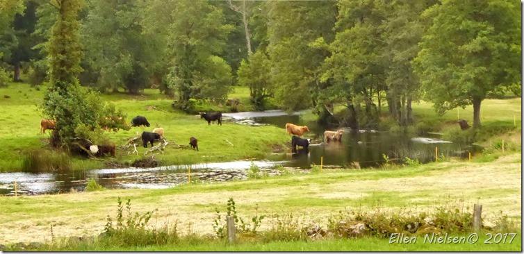 Badende køer