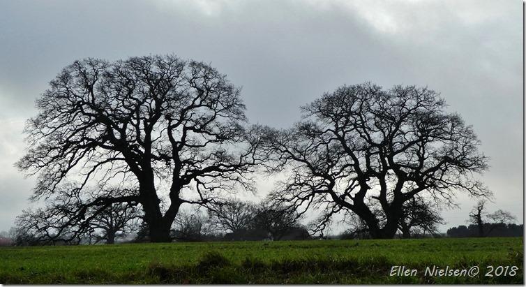 Egetræerne ved Nysø (1)