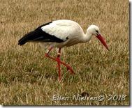 Stork ved Fulltofta