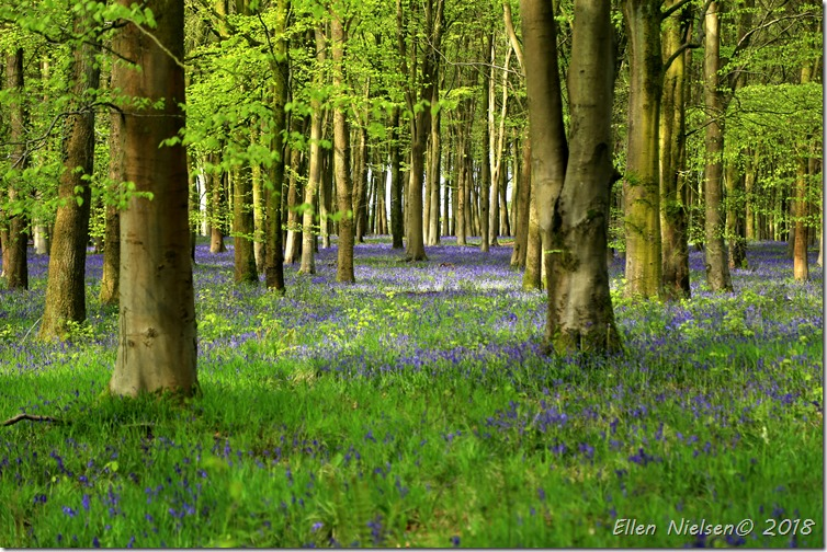 Bluebells galore