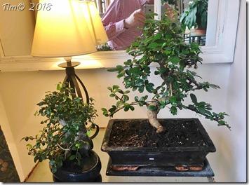 Annas og Aubreys bonsaitræer