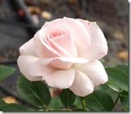 Aspirin Rose 50-90 cm