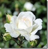 White Meidiland 60-80 cm