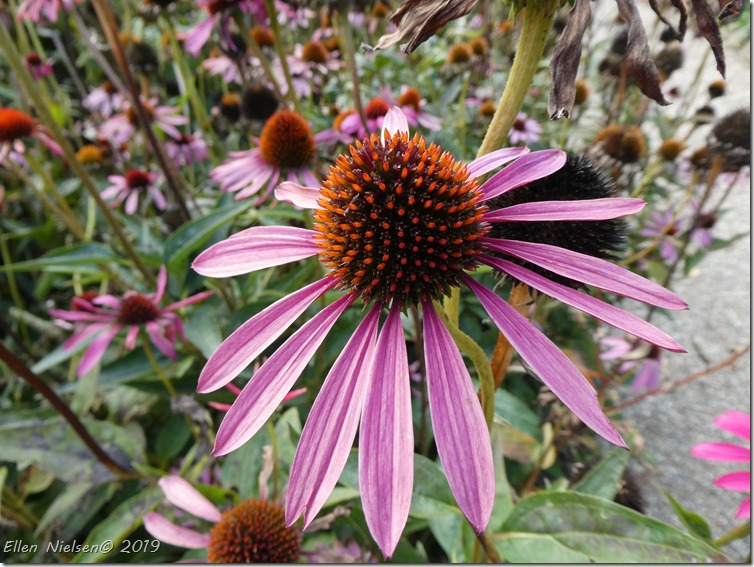 Echinacea - purpursolhat
