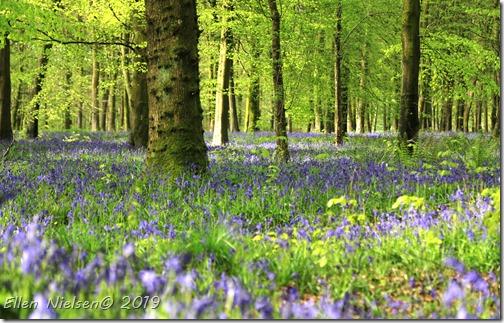 Bluebells i England
