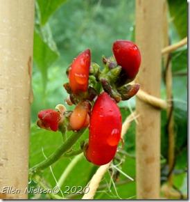 Pralbønne som hummer-wannabe