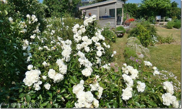 Mange roser